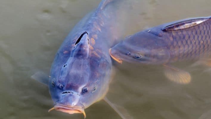 Best Time to Fish for Carp